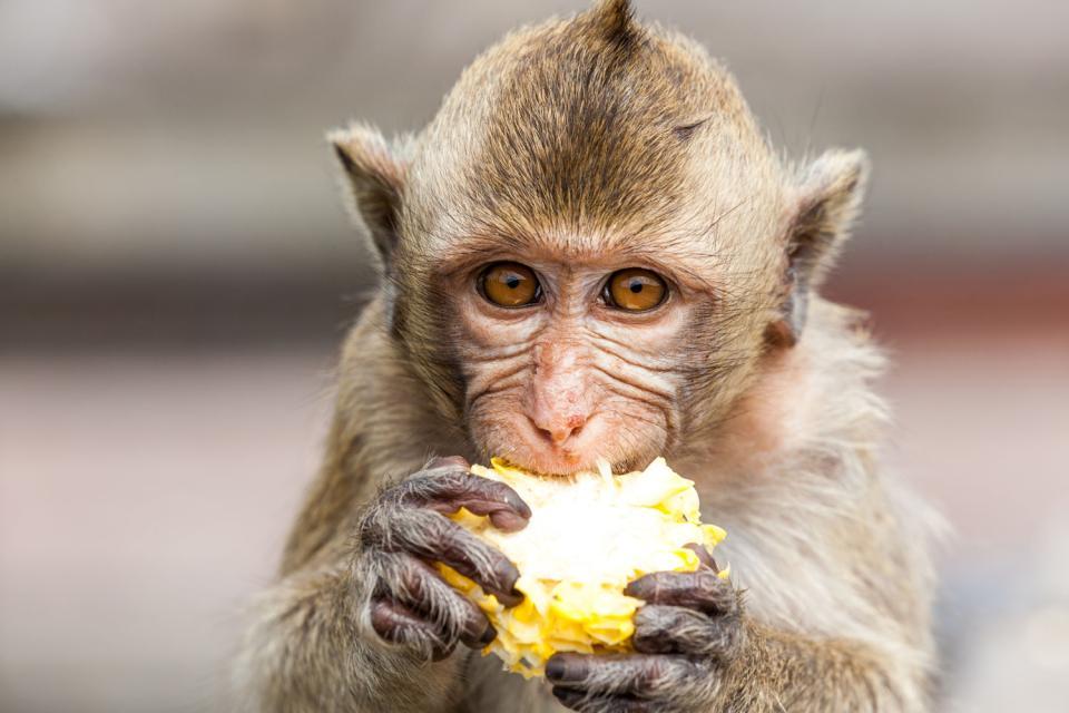 Il macaco di Java , Indonesia