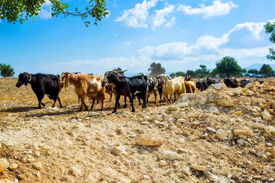 La faune et la flore des Troodos , Chypre, terre de chèvres et de moutons , Chypre