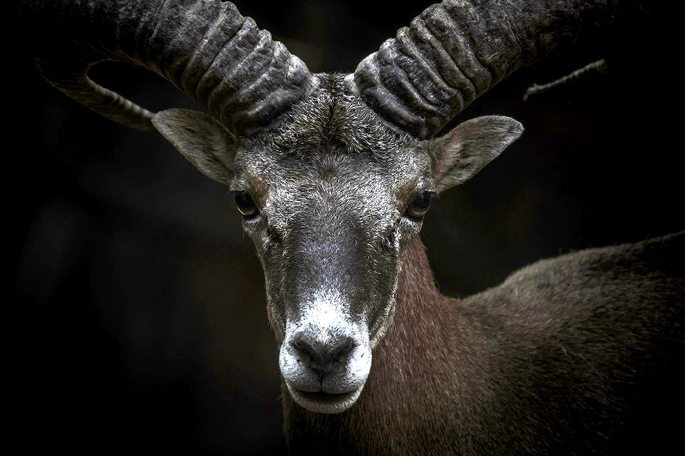 The fauna and flora of the Troodos , The Mouflon, the national symbol! , Cyprus
