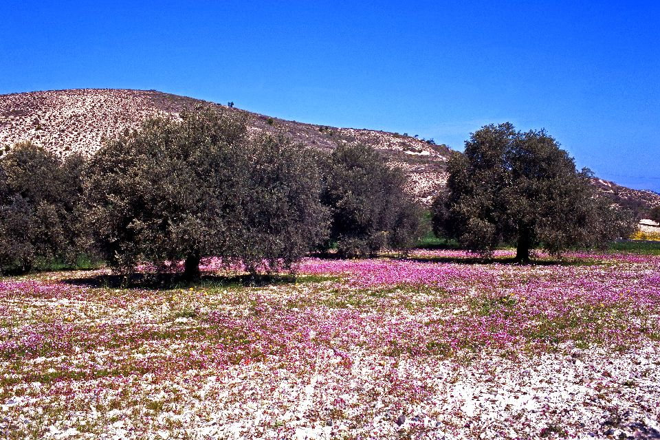 The fauna and flora of the Troodos , The olive trees in Cyprus , Cyprus