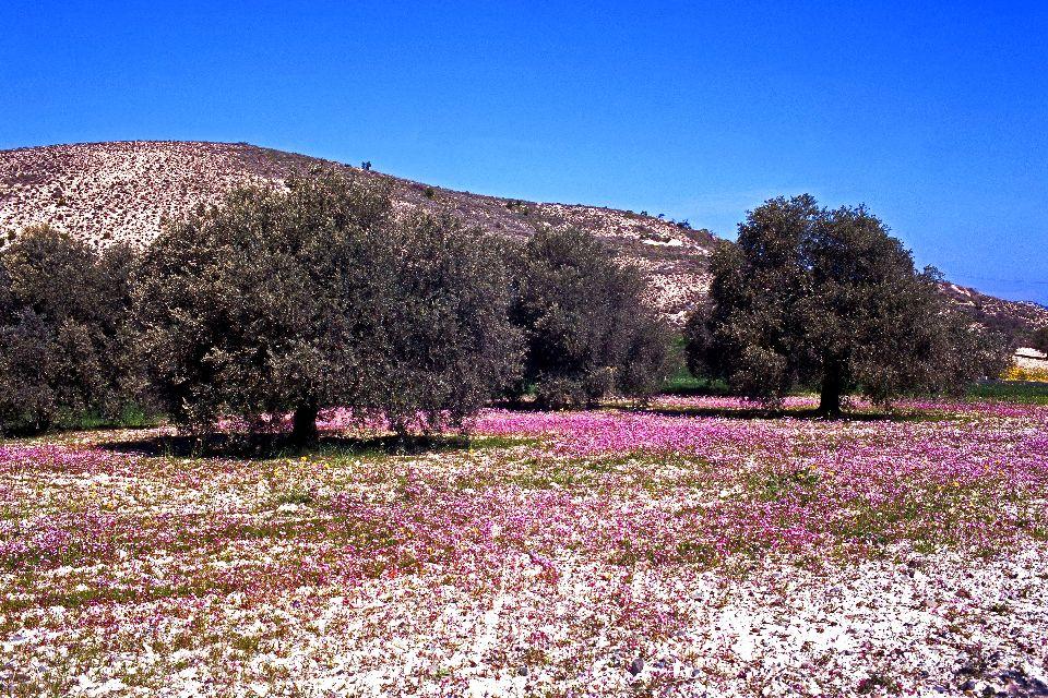 La faune et la flore des Troodos , Les oliviers à Chypre , Chypre