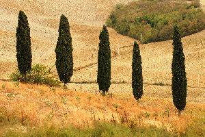 Les cultures , Un champ de blé après les moissons , Chypre