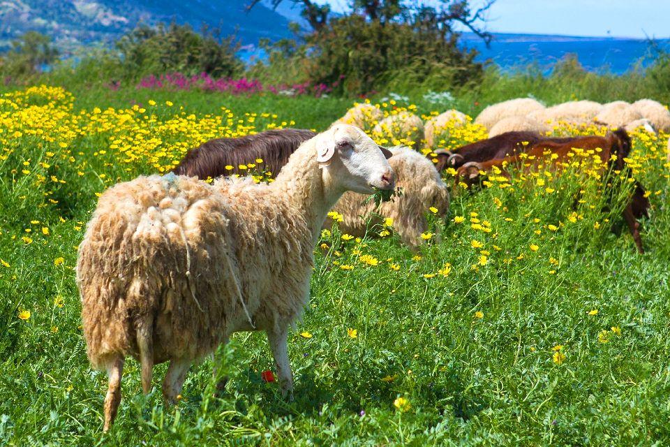Cultivos , La cría de corderos , Chipre