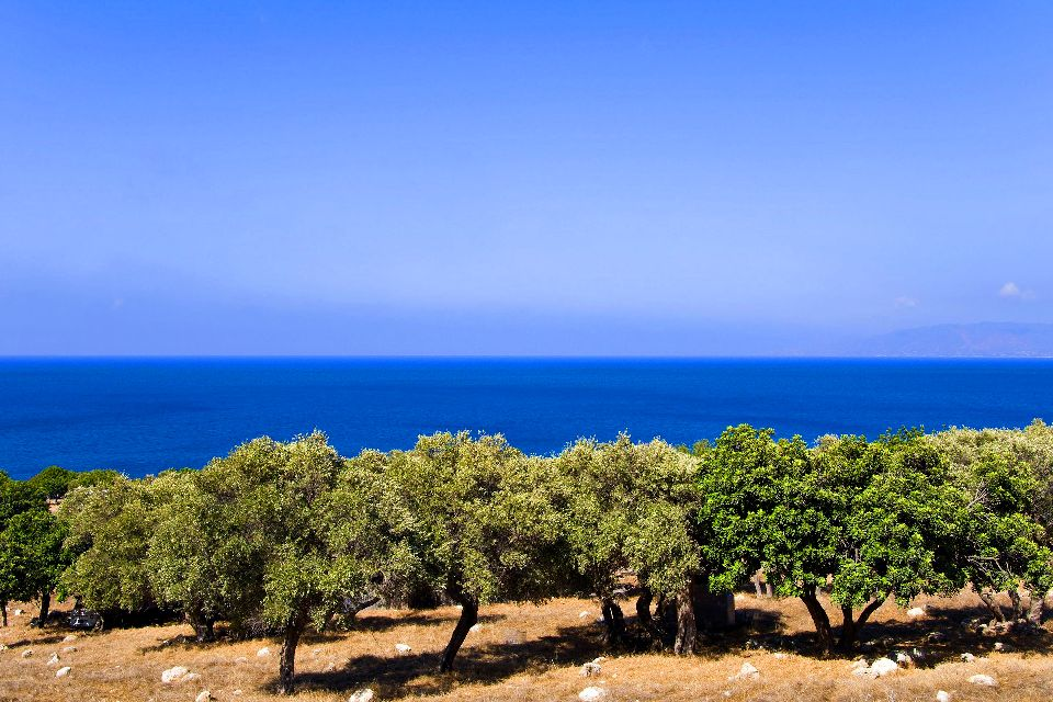The crops , Olive trees in Cyprus , Cyprus
