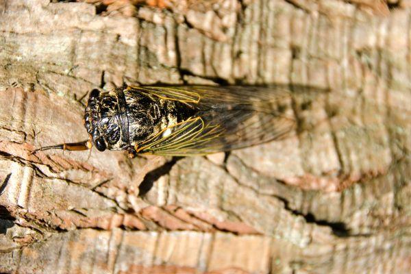 La faune et la flore, Cicada arbre calanque Marseille faune France Europe