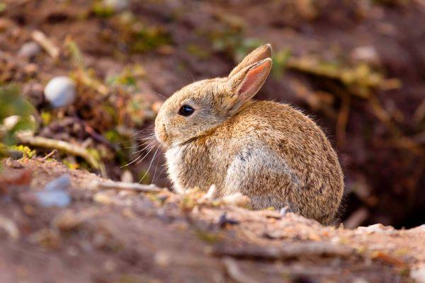 La faune et la flore, Lapin Garenne forêt bois calanque Marseille faune France Europe