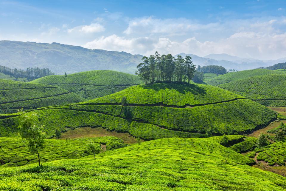 Munnar Tea Plantations Kerala India
