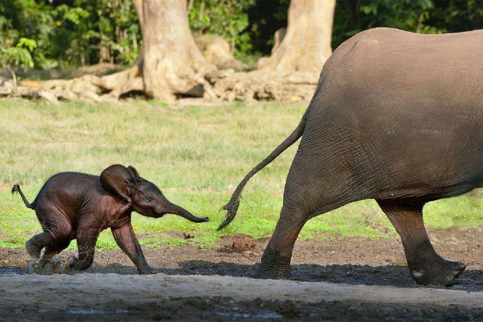 La fauna de la sabana , Congo