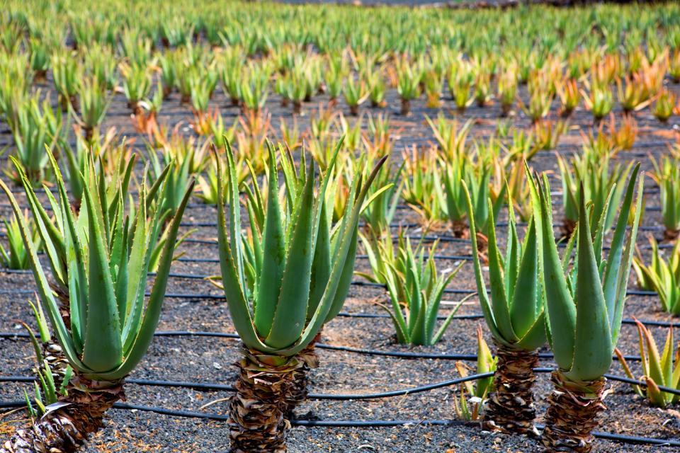 Lanzarote , plantation d'Aloe Vera , Espagne
