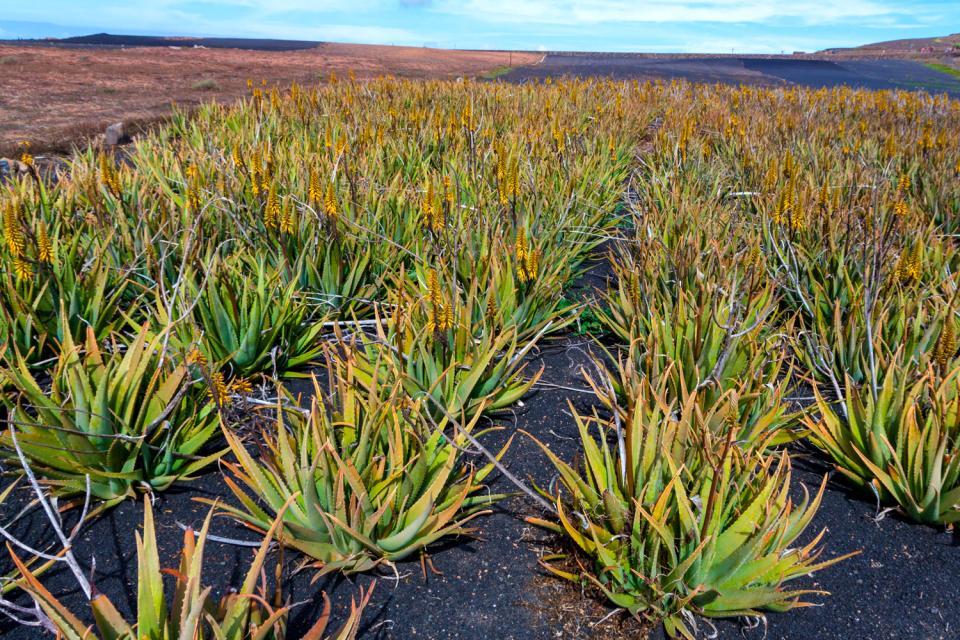 Lanzarote , plantation d'Aloe Vera , Une plantation de 40 000 m² , Espagne