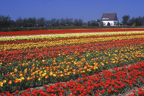 Les tulipes de Noordoostpolder , Tulipes de Hollande , Pays-Bas
