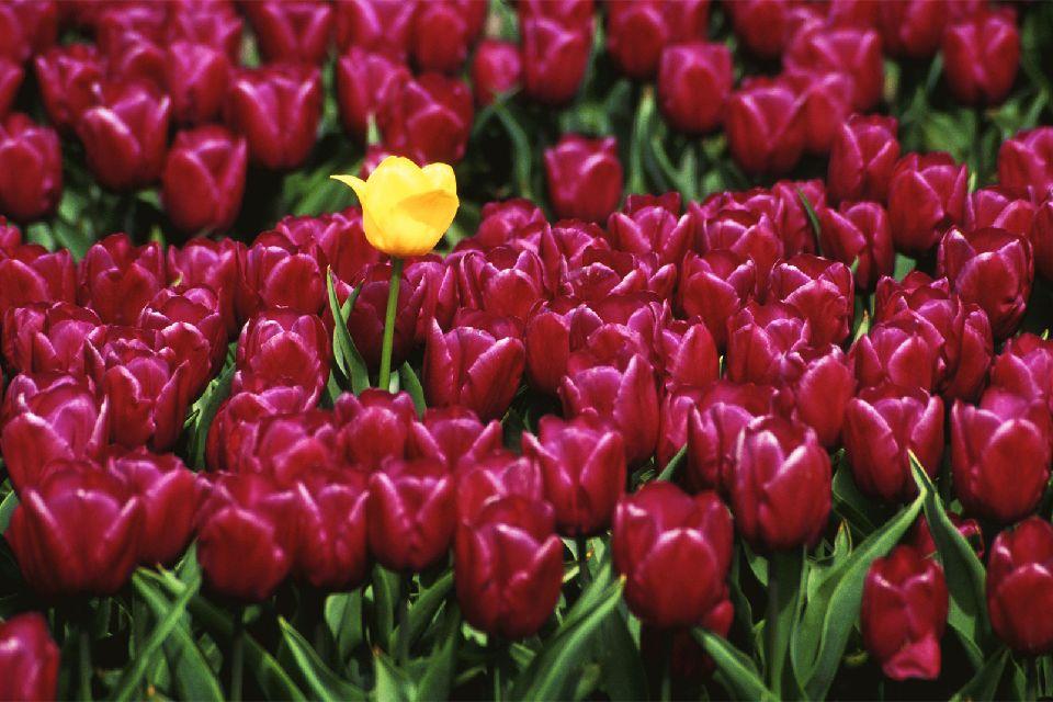 Les tulipes de Noordoostpolder , Idée week-end , Pays-Bas