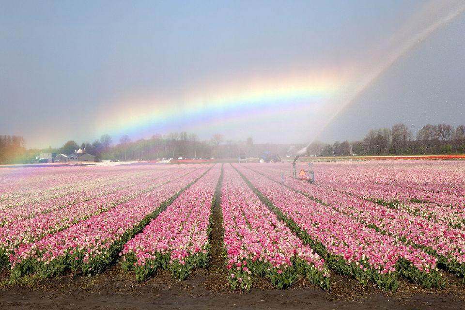 Les tulipes de Noordoostpolder , Fête des tulipes , Pays-Bas