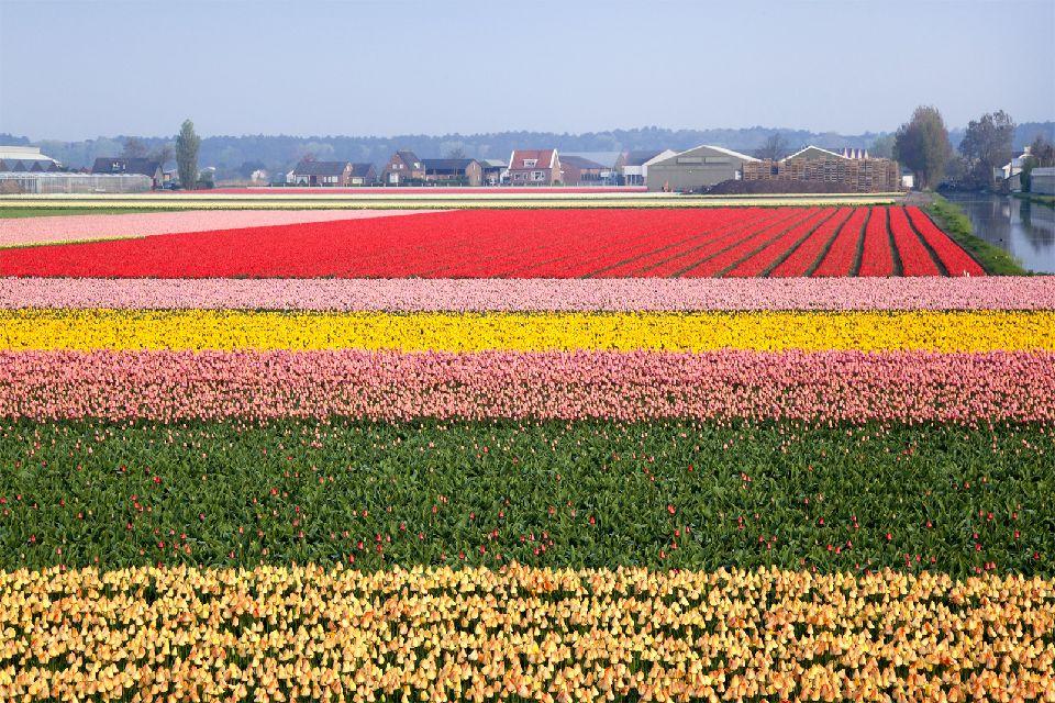 Les tulipes de Noordoostpolder , Multicolore , Pays-Bas