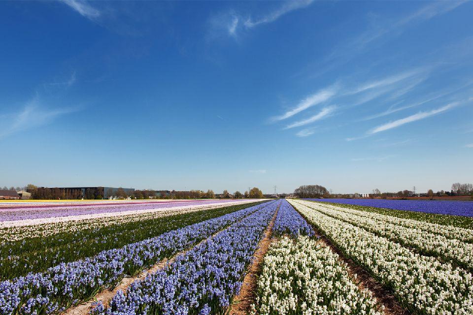 Les tulipes de Noordoostpolder , Meilleure période , Pays-Bas