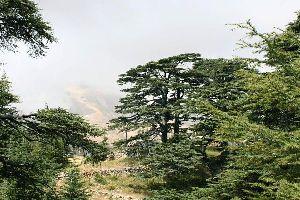 Les Cèdres du Liban , Liban