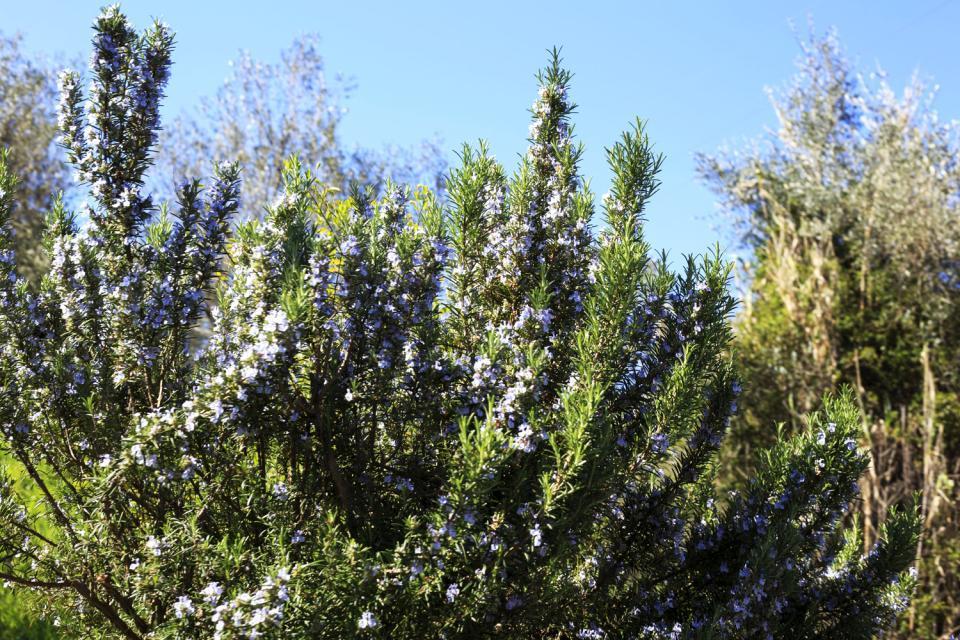 Die Flora , Albanien