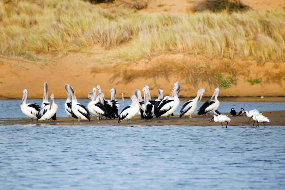 Heron Island , La chasse aux poissons , Australie