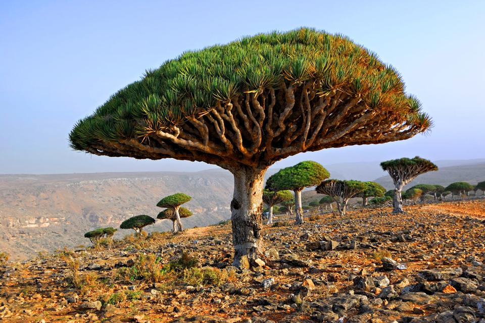 L'île de Socotra , Yémen