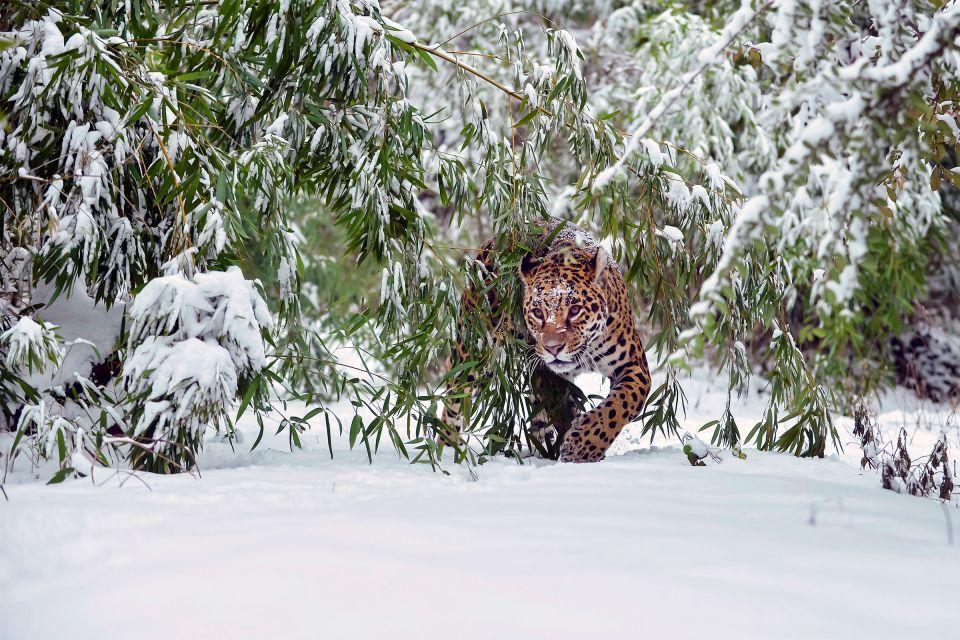 Les activités et les loisirs, Jardin, zoologique, Schonbrunn, zoo, vienne, autriche, europe, faune, animal, fauve, félin, mammifère, léopard, panthère