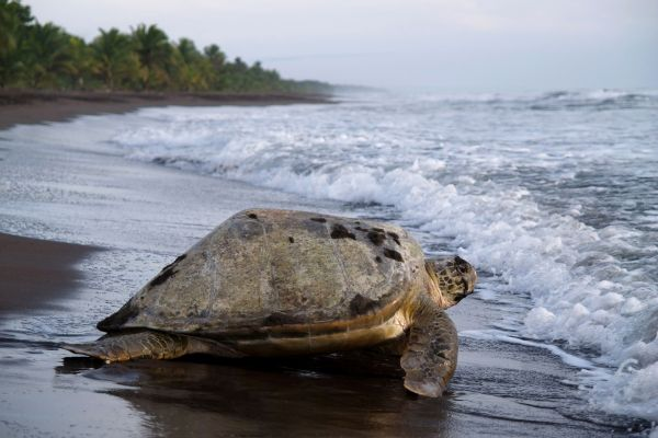 The giant turtles of the Playa Grande, The fauna and flora, Costa Rica