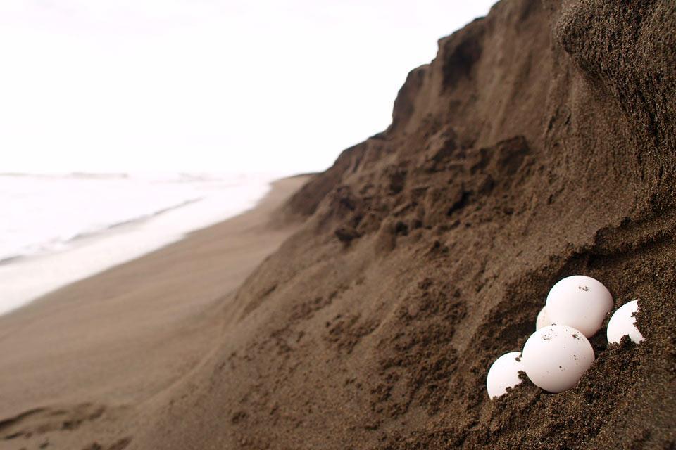 Le tartarughe giganti di playa grande costa rica for Incubazione uova tartaruga