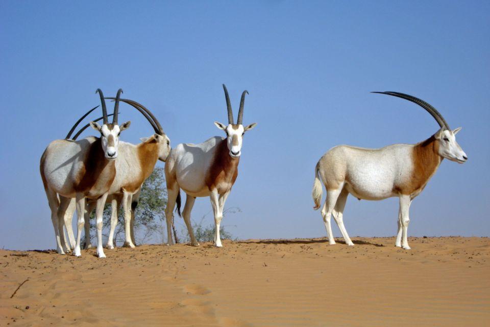 Les parcs et les réserves, sénégal, afrique, réserve, parc, guembeul, animal, faune, mammifère, antilope, oryx, dammah, algazelle