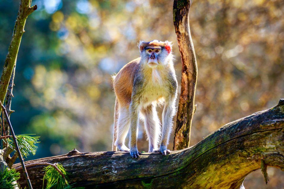 Les parcs et les réserves, sénégal, afrique, réserve, parc, guembeul, animal, faune, mammifère, singe, primate, patas