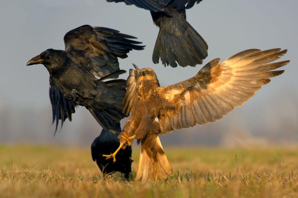 Les parcs et les réserves, ferlo, nord, sénégal, afrique, réserve, parc, nature, busard, rapace, oiseau