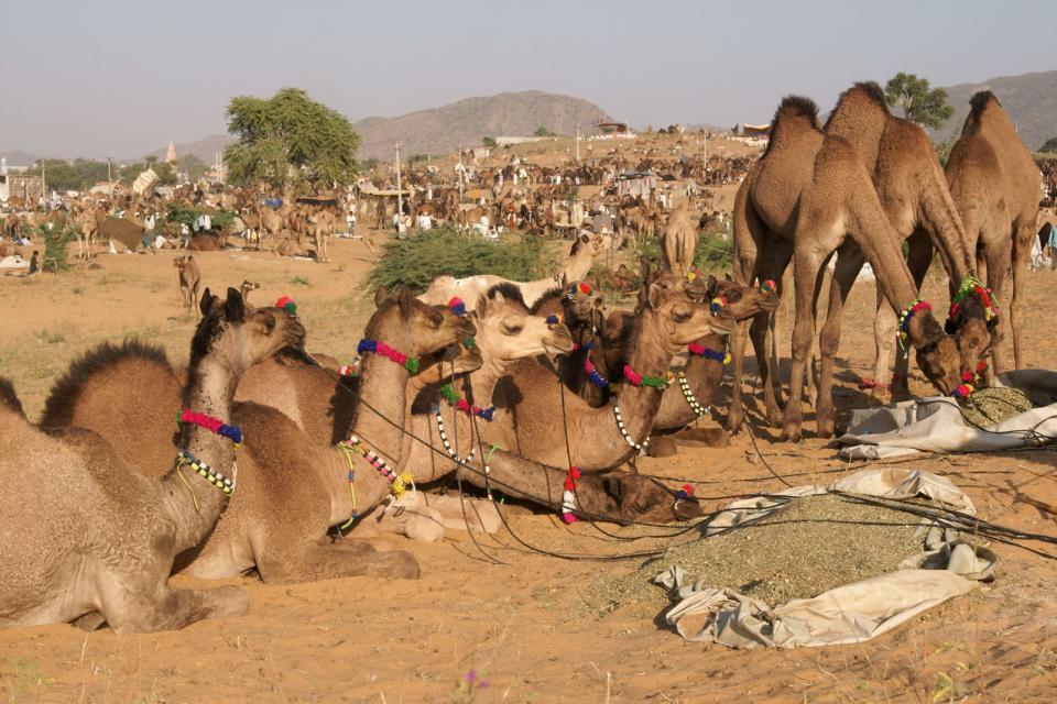 La foire aux chameaux de Pushkar , Inde