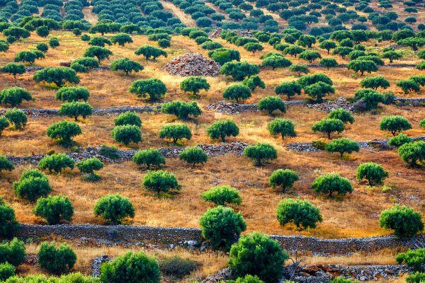 The olive oil of Crete, The fertile plains, Landscapes, Crete