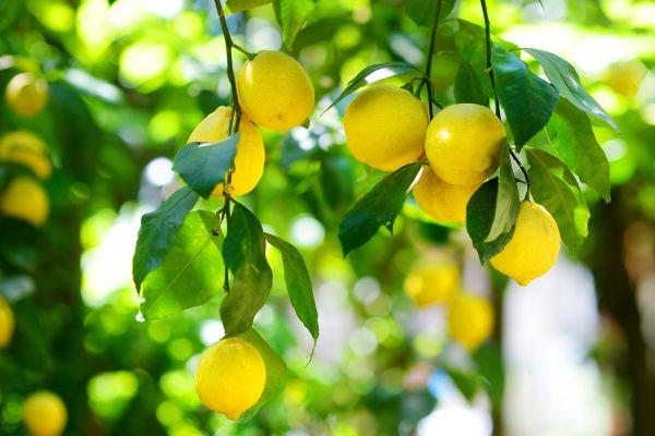 The fruit trees of Crete, The fertile plains, Landscapes, Crete