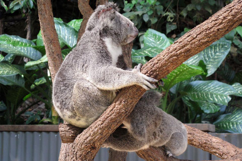 Kuranda, australie, queensland, océanie, Kuranda, Wildlife, Sanctuary, zoo, marsupial, koala