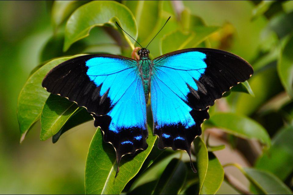 Océanie, Nouvelle-Calédonie, France, Parc de la Rivière Bleue, animal, papillon, Papilio, montrouzieri, riviere,