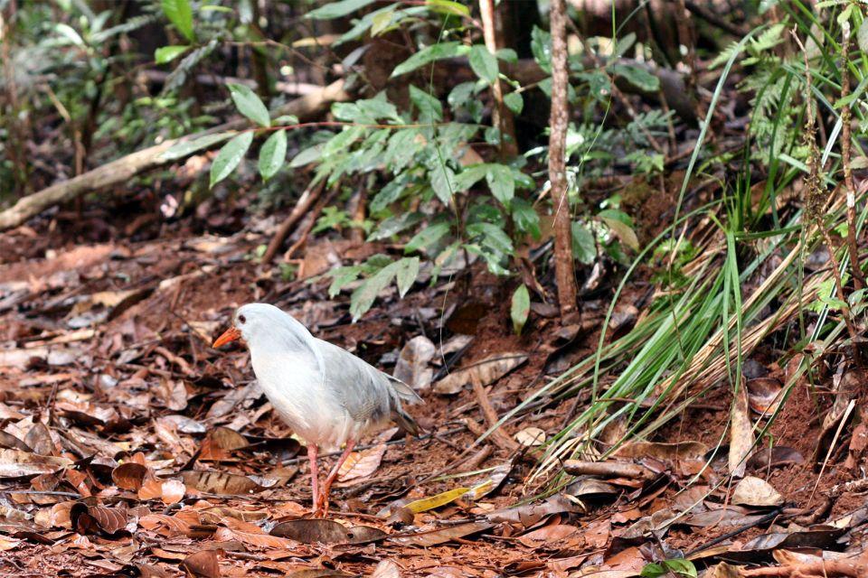 Océanie, Nouvelle-Calédonie, France, Parc de la Rivière Bleue, faune, animal, cagou, oiseau, riviere,