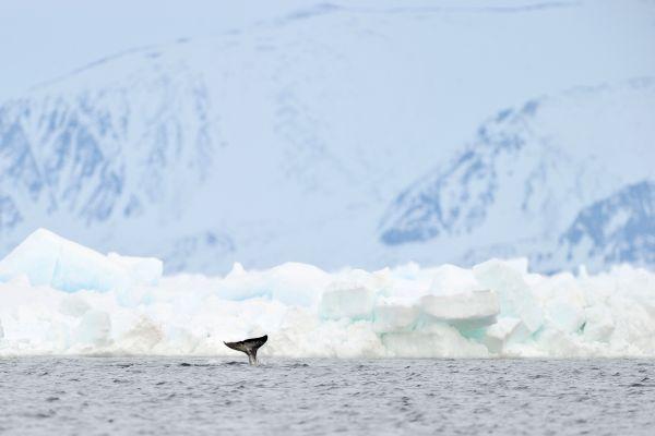 Les paysages, Ile, Baffin, Nunavut, Canada, Amérique du Nord, Toundra, Neige, Arctique, Nunavut, narval.