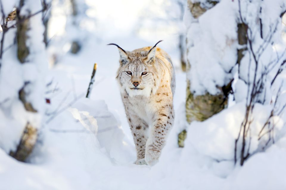 La faune et la flore, Lynx, mammifère, animal, faune, félin