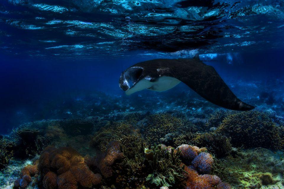 Les excursions, raie, manta, poisson, faune, sous-marine, mer, animal, etats-unis, amérique, hawaii, USA, plongée