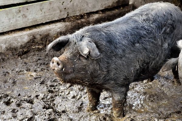 La gastronomie, Pyrénées, porc, bigorre, france, charcuterie, alimentation