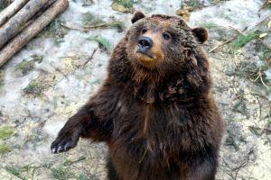 La faune et la flore, ours, pyrénées, france