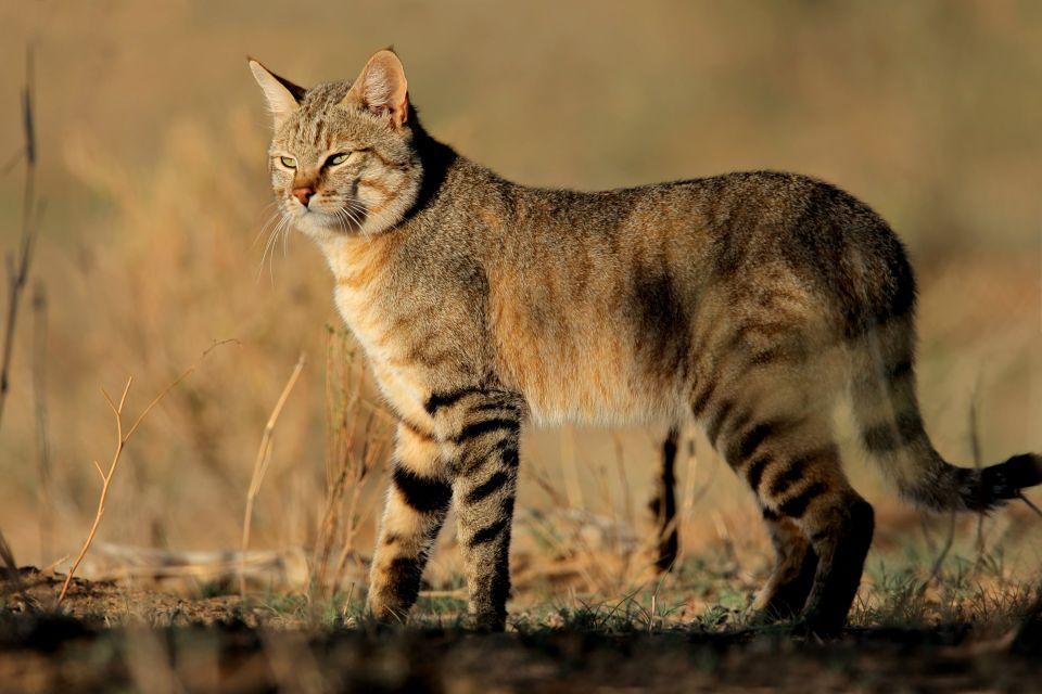 Les paysages, Ichkeul, Parc, Bizerte, unesco, tunisie, afrique, maghreb, chat, sauvage, animal, félin, mammifère