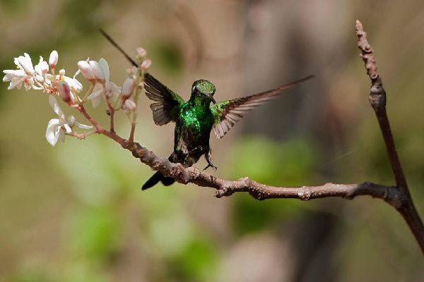 Les oiseaux , Cuba