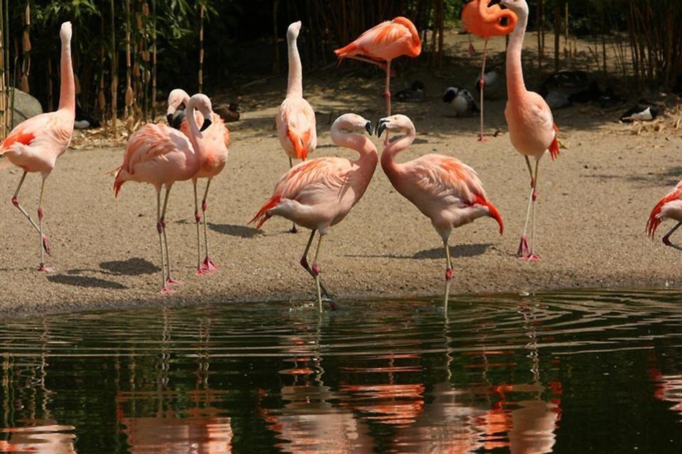 Las aves , Cuba