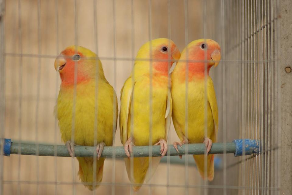 The Birds , Cuba