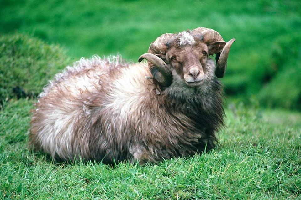 Los parques zoológicos , Un carnero en las islas Feroe , Dinamarca