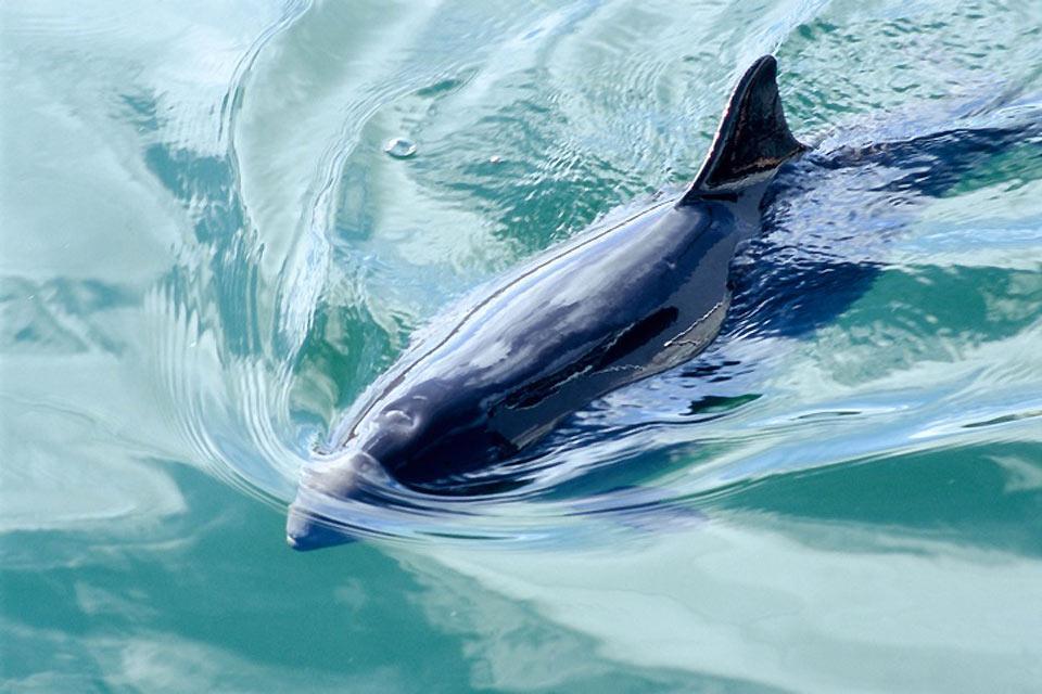 Los parques zoológicos , Una marsopa nadando , Dinamarca