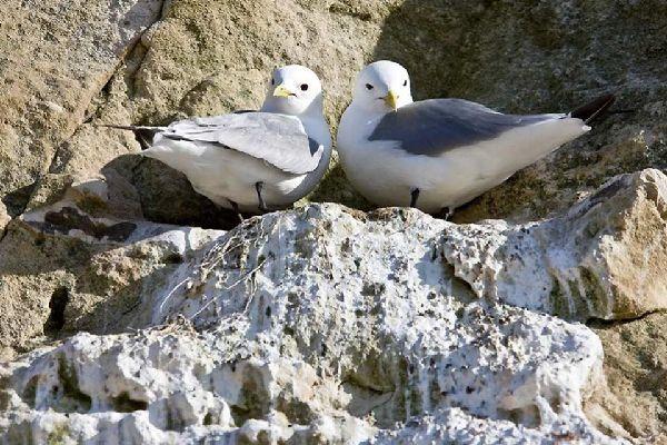 Les oiseaux , Mouettes tridactyles , Danemark