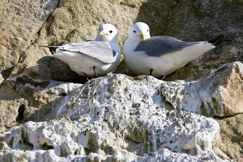 Las aves , Gaviotas tridáctilas , Dinamarca