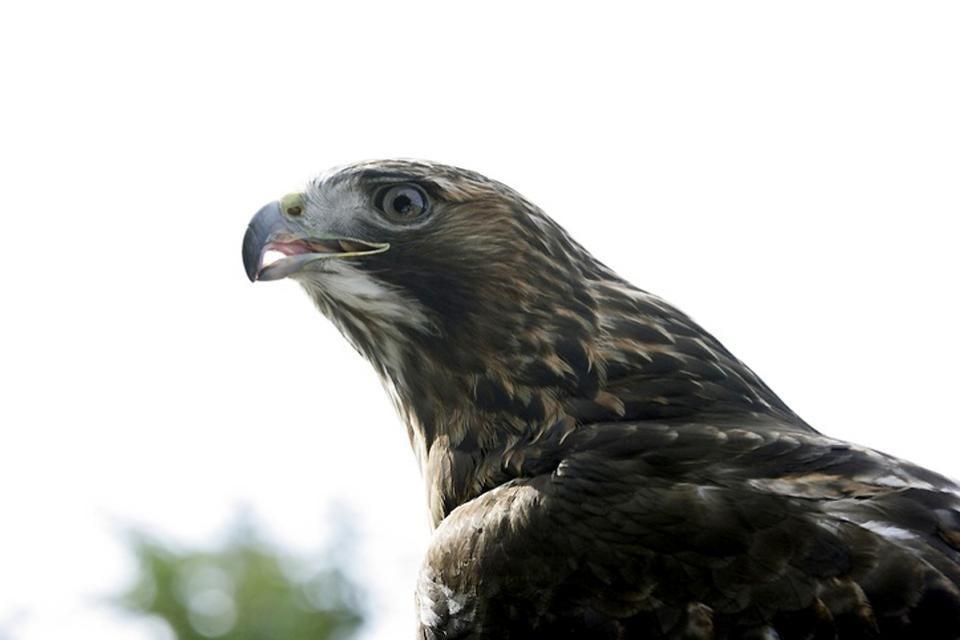 Les oiseaux , Un faucon , Danemark