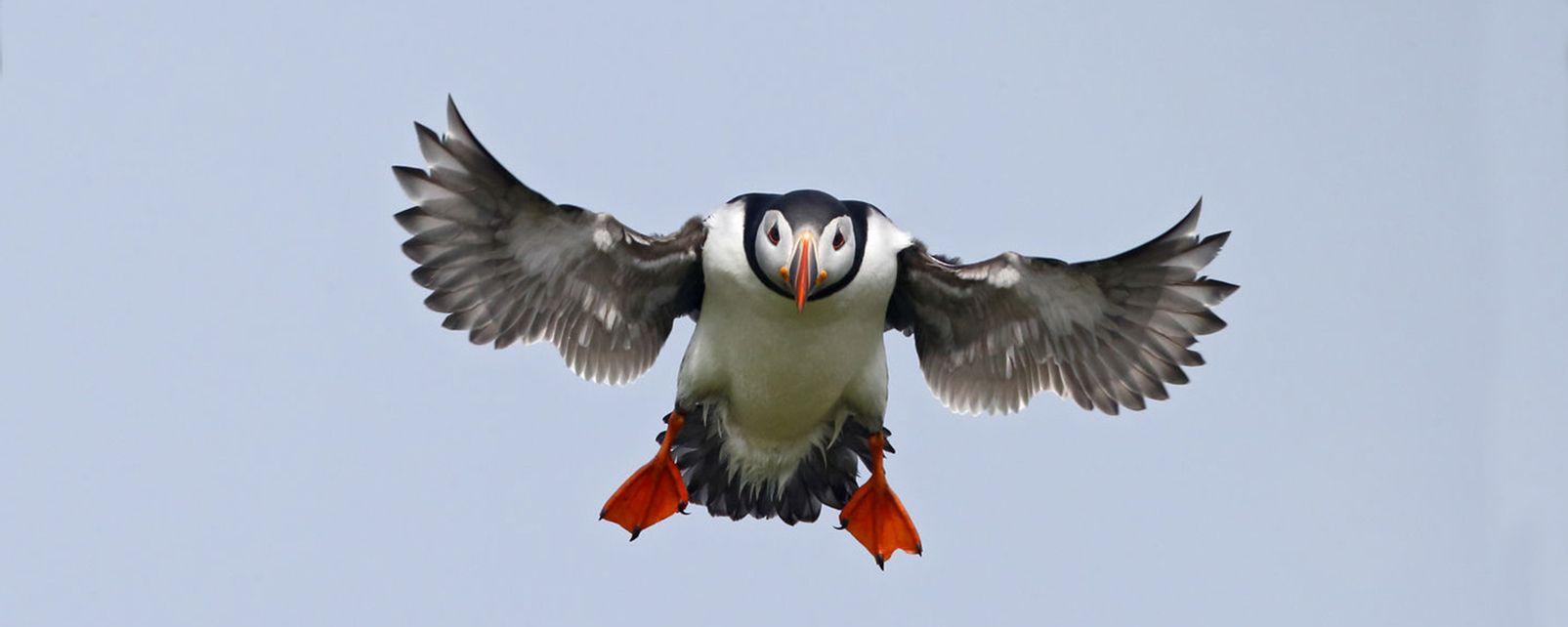 La faune et la flore, Royaume-Uni, Europe, écosse, ecosse, faune, animal, oiseau, macareux
